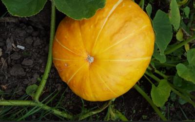 Pumpkin Disaster